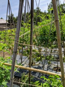 We staked all the tomatoes with bamboo teepees last month and wrapped jute twine around each one to support the vines and provide direction as they cling and climb.