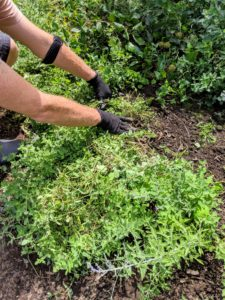 Ryan continues down the entire length of the pergola cutting and gathering the catnip as he goes. Ryan is also wearing my Non-Slip Garden Gloves from my collection at QVC - these gloves are so useful and comfortable to wear, even in the heat of summer.