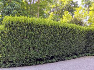 It is quite pretty in this location, but it also serves as a good privacy barrier from the road. The top and upper sides of a hedge are exposed to lots of light, so they grow more vigorously.