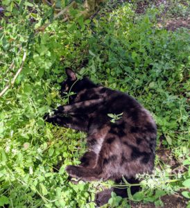 It isn't long before Blackie finds a patch of catnip all to himself.