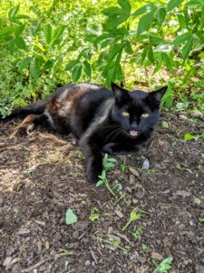 Blackie is never far when the catnip is harvested - here he is in a shady spot.