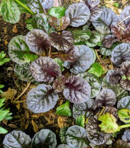 Ajuga has lush dark burgundy-black foliage that blankets the ground when mature. We planted three in each spot – two in the back and one in front.