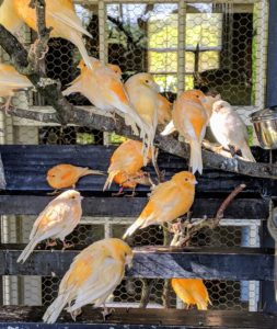 They are all so beautiful and striking in color. Healthy and well-cared for canaries can live at least 10 to 12 years.