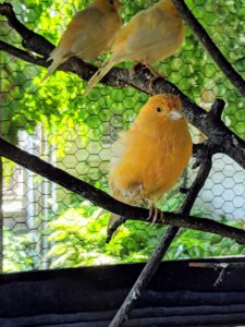 Red factor canaries are prized for their color rather than their song, but they are also very melodious singers. My canaries love to listen to classical music, which I keep on for them during the day.