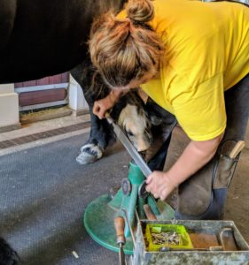 Banchunch's hoof is lifted onto a hoof jack, so Linda could file down the contact joints, and any rough spots on the hoof wall.