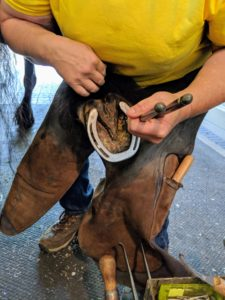 My farrier, Linda, holds the hoof between her legs to remove the old shoe. She uses a pair of pullers designed to loosen and pull. My horses all know Linda well, so they are very comfortable with her.