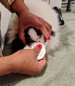 First, Sanu cleans Tang's face with a slightly damp cotton pad – especially in between the creases. This helps to prevent possible tear staining.