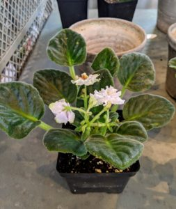 This African violet is 'Arctic Snow' with showy semidouble white flowers and medium green foliage. Pinch blooms from the growing African violets when they are spent. This will encourage the development of more flowers.