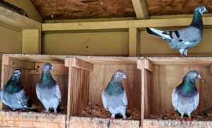 Oftentimes, pigeons of the same breed will stay close together – these are all Dunn Tipplers.