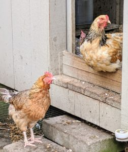 The hen on the step is an Easter Egger. The hen looking out the doorway is a Buff Brahma. Both these breeds are prolific layers.