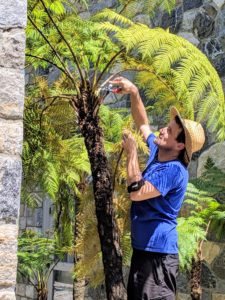Just outside the stable, Ryan trims the growing tree ferns. We placed these in between the stable and the carriage house where they can be partially shaded and protected from strong winds.