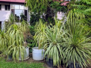 In this area, a group of potted dracaena plants with their strap-like foliage. Many cultivars are large and tree-like while others are smaller - all with upright growing forms.