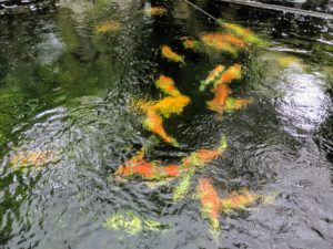 Koi, or more specifically jinli or nishikigoi, are colored varieties of the Amur carp that are kept as pets in outdoor koi ponds or water gardens.