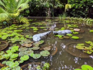 Two ornamental water buffalos keep watch over the water lilies and cycads.