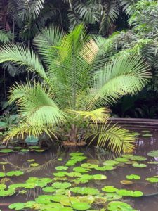 Here's another cycad in a shallow pond.