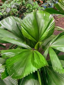 Here is another bright green palm variety.