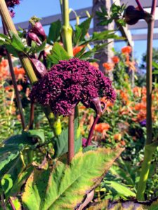 This year, we also have pops of Angelica gigas, which have broad, fingered foliage and deep reddish-purple stems. The rich coloration extends to the six to eight-inch broad umbels of flowers that top these five to six-foot-tall plants.