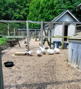 These geese love interacting with the chickens in the yard - I am so pleased everyone gets along. These geese are pretty fast runners - they're running through the large yard quickly to check out all the activity.