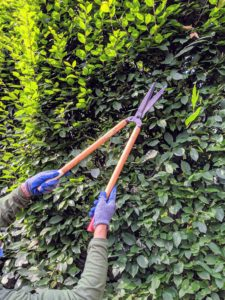 Using Japanese Okatsune shears specially made for trimming hedges, Chhewang is able to prune the hornbeams so they are nice and flat. These shears are user-friendly and come in a range of sizes.