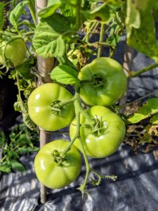 These are 'New Girl' tomatoes which produce medium-sized four to six-ounce fruits early in the season. This variety has sweet fruits and is more disease resistant than others.