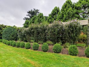 On the edge of the pergola on both sides, the boxwood shrubs have grown very well. These shrubs were grown from small seedlings right here on my farm.