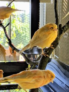 In general, canaries don't like lots of handling, but my canaries are used to all the activity around them, so they are never scared when visitors approach.
