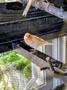The red factor canary will grow to approximately five-and-a-half inches long, making them an easily manageable size.