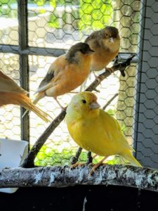 The canaries do not need special toys like some other birds, but they do need strong perches with multiple branches. We change these quite often.