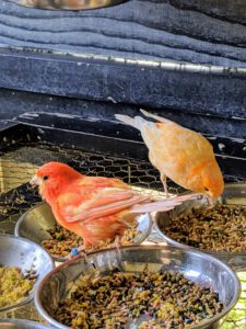 Red factor canaries need certain nutrients to maintain their bold, colorful plumage. Fresh foods containing beta-carotene, canthaxanthin and carotenoids along with the appropriate canary seed make up a good well-balanced diet.