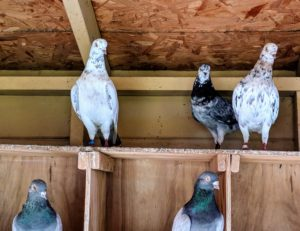 Pigeons are very docile, gentle and sweet-natured birds - everyone at the farm loves visiting them and talking to them as they pass their coop.