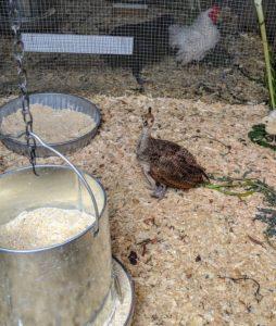 These peachicks will be here for several more weeks before they are turned out with the bigger birds.