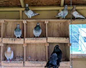 Inside the coop is an entire wall of nesting spaces. Pigeons mate for life and both female and male pigeons share the responsibility of caring for and raising their young.
