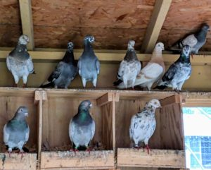 Although they love to roost, pigeons can fly at altitudes of 6000-feet or more. Pigeons can also fly at average speeds of up to 77-miles per hour.
