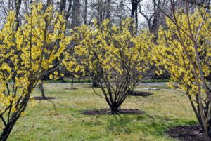 This photo was taken last February when the witch hazels were in bloom. Witch hazel grows as small trees or shrubs in one of six basic shapes – upright, vase-shaped, oval or rounded, spreading, horizontal or weeping.