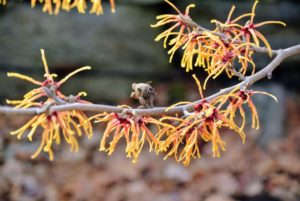 This is Hamamelis x intermedia 'Feuerzauber'. Witch hazel works well as a natural remedy because it contains tannins, which when applied to the skin, can help decrease swelling and fight bacteria.
