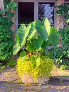 This is an Alocasia planted in a faux bois pot and paired with Lysimachia. I love the large leaves of Alocasia, also known as elephant ear.