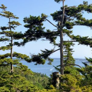 This is one of my favorite trees on the right - a giant spruce. The view of Seal Harbor is from the far end of the terrace looking out towards the Cranberry Islands.