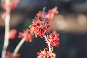 Japanese witch hazel, Hamamelis japonica, has showy yellow or red flowers. The flowers are able to curl inward to protect the inner structures from freezing during the winter. The spider-like flowers are small, but noticeable since they cover the shrub.