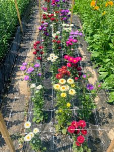 Everything is very well maintained and weeded – it is so pleasant to cut from this garden. We use lightweight fencing secured with stakes to support the developing stems so plants don't flop over.