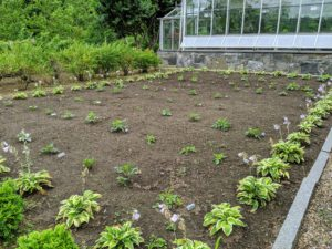 In July, this new garden bed behind my main greenhouse was just beginning to sprout with rows of dahlias bordered by young hostas.