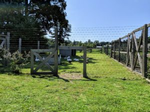 The chicken yard is very large and divided into several sections. And, when the vegetable garden is not in use, all my chickens, geese and Guinea fowl are able to forage and fertilize that space, giving them lots of room to roam.