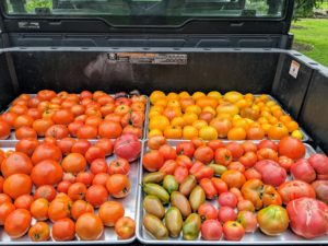 This is just one of several large tomato harvests from my garden. We filled the back of my Polaris ATV with trays and trays of fresh tomatoes. This year, we had more than 140 tomato plants.