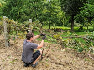 Ryan also takes some time to prune the grapevines located behind my vegetable greenhouse.