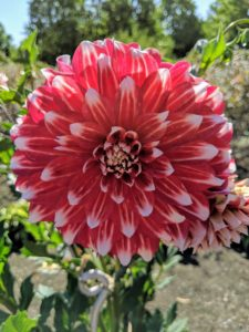 'Myrtle's Brandy' is a red dahlia with white tips whose petals fold back towards the stems. It is an excellent cut flower variety.
