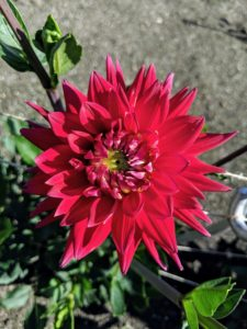 This cactus dahlia is called 'Karma Red Corona' with brilliant, scarlet red flowers. It was bred as a cut flower, and like other Karma dahlias, the plants are compact with dark green foliage, long stems and a high bud count. The quilled petals add extra texture and volume.