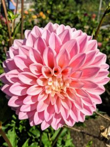 Another eye-catching cultivar is Dahlia 'Castle Drive'. It has a soft blend of pink and yellow and is great in arrangements and gardens. This plant is also very attractive to bees and butterflies.