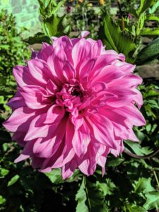 This beautiful giant lavender dahlia is called 'Vassio Meggos'. It has long stems, and giant pink flowers - a popular variety in the garden.