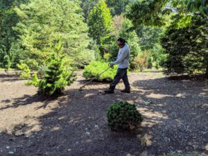 Here's Pete carefully weed whacking all the unwanted growth around the trees. If you follow this blog regularly, you may recall last winter I decided to get rid of the grass and fill the area with mulch to cut down on mowing.