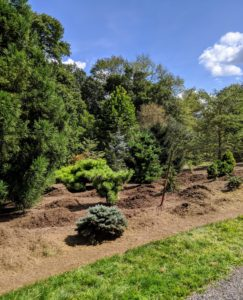 Each load of mulch is spread out into piles all around the pinetum.