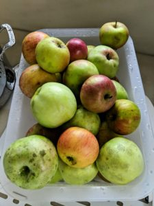 All these apples fell to the ground after a rainstorm, so I decided to gather them up and make a batch of applesauce. Always be sure they get thoroughly washed before cooking them.